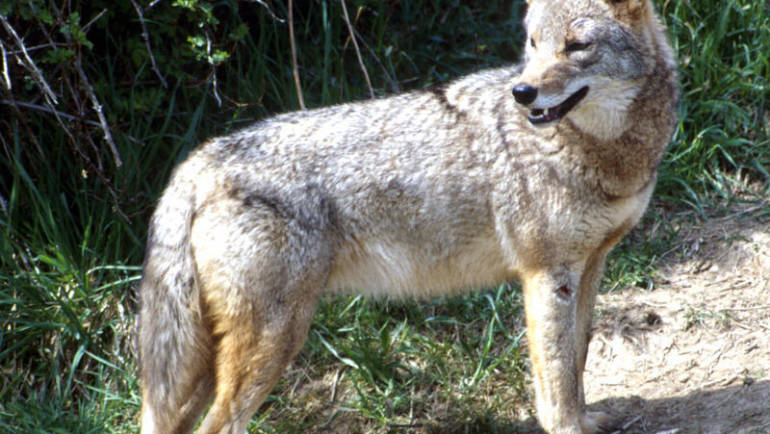 Info on Discouraging Coyotes in Arcadia
